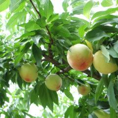 白桃の成長